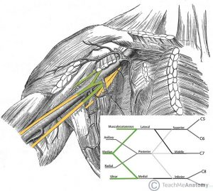 Fig 1.6 - The 'M' shape, consisting of the ulnar, median and musculocutaneous nerves.