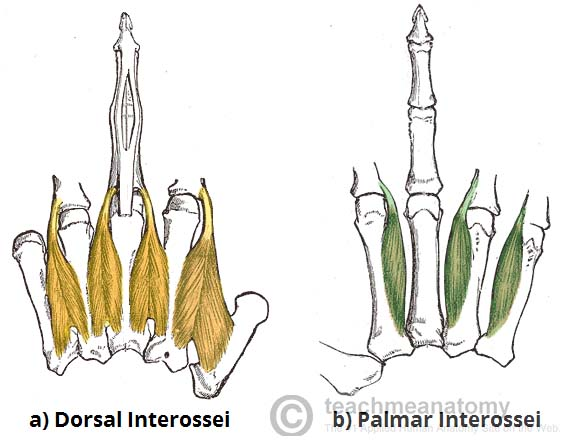 Fig 4 - The dorsal and palmar interossei of the hand.
