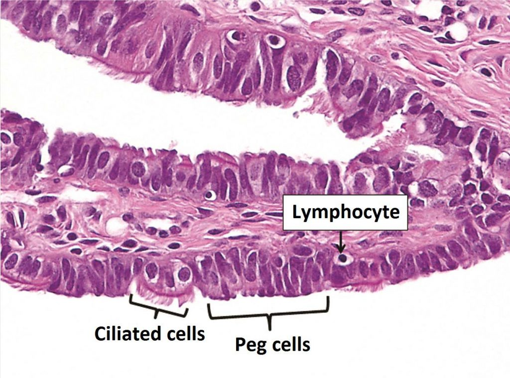 Fig 1.1 - The epithelial lining of the fallopian tubes.