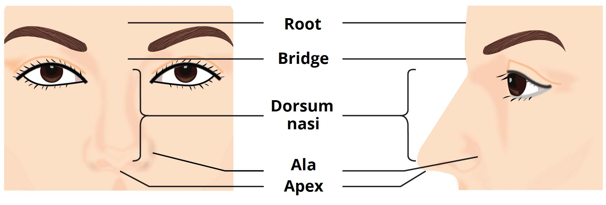 Nose anatomy external