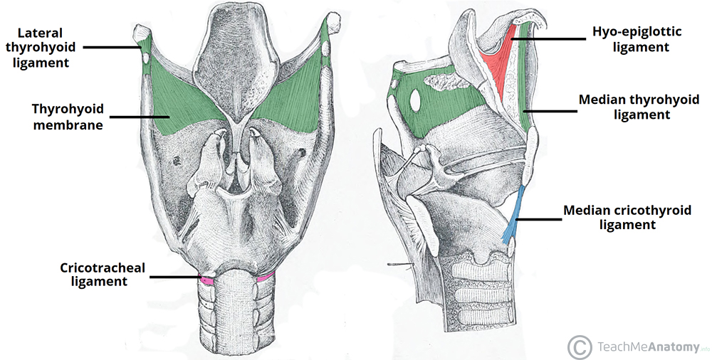 Laryngeal Ligaments And Folds Vocal Vestibular Teachmeanatomy