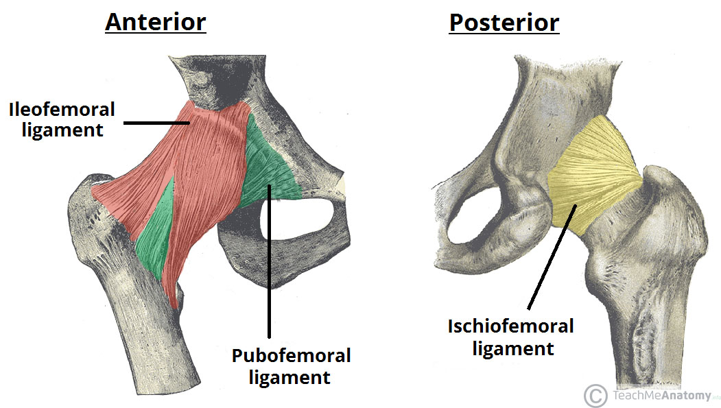 Fig 3 - The extracapsular ligaments of the hip joint; ileofemoral, pubofemoral and ischiofemoral ligaments.