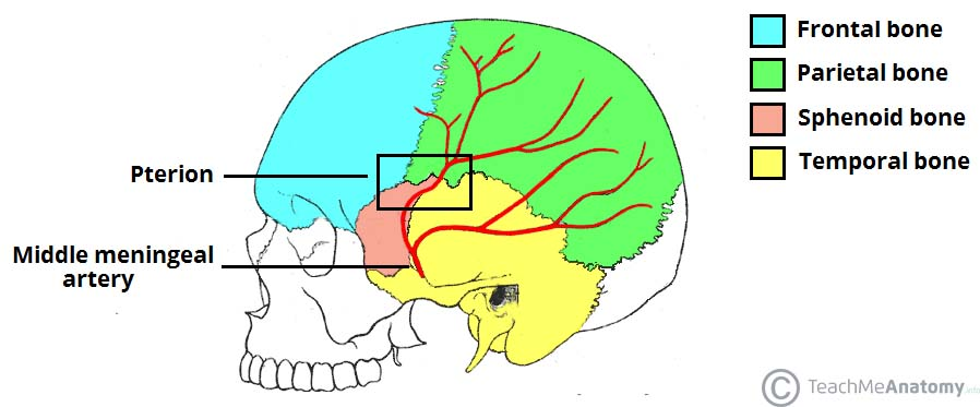 Fig 1.3 - Lateral view of the skull, showing the path of the meningeal arteries. Note the pterion, a weak point of the skull, where the anterior middle meningeal artery is at risk of damage.