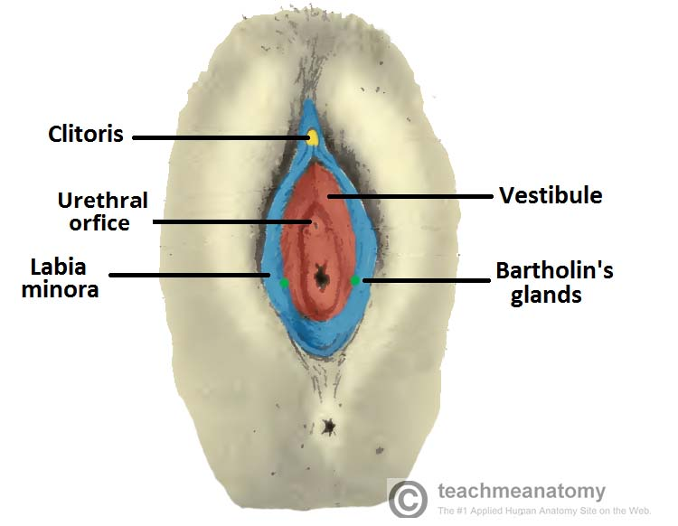 Fig 1.2 - Location of the external urethral orifice in the vestibule.