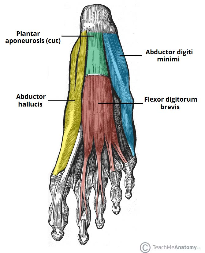 Fig 1.0 - The first layer of plantar muscles. The plantar aponeurosis has been cut to reveal the underlying flexor digitorum.