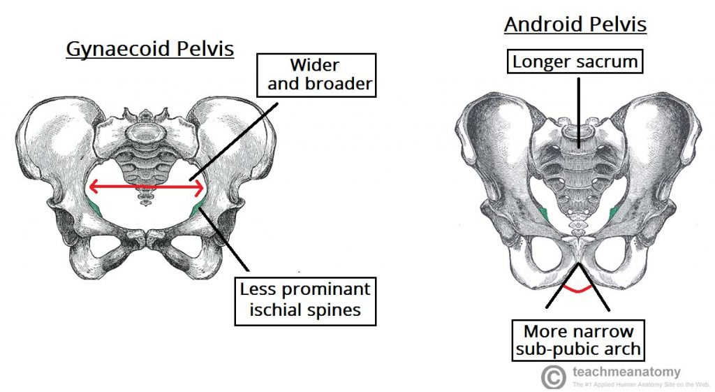 Fig 1.4 - Gynaecoid pelvis vs the android pelvis.