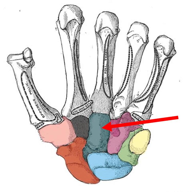 Bones Of The Hand Carpals Metacarpals Phalanges Teachmeanatomy