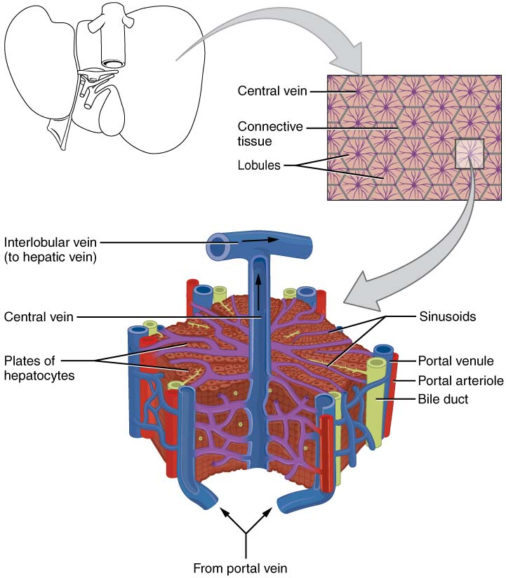 The Liver Lobes Ligaments Vasculature Teachmeanatomy
