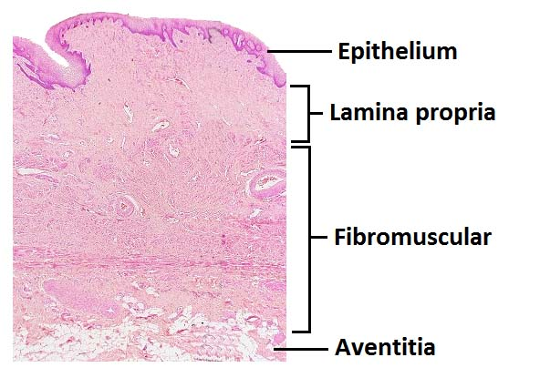 Fig 1.2 - The histological layers of the vagina.