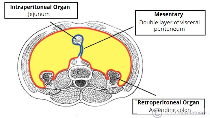 the peritoneum - visceral - parietal - teachmeanatomy, Human Body