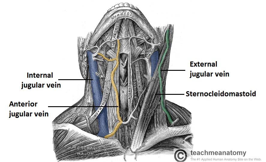 Fig 1.1 - Anterior view of the neck, showing the jugular veins