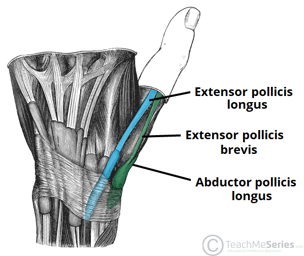 Fig 1.1 - The tendinous borders of the anatomical snuffbox