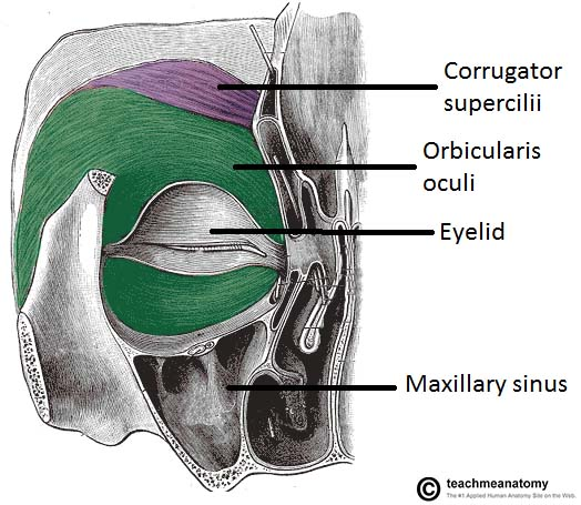 Fig 1.0 - Posterior view of the orbital muscles of facial expression