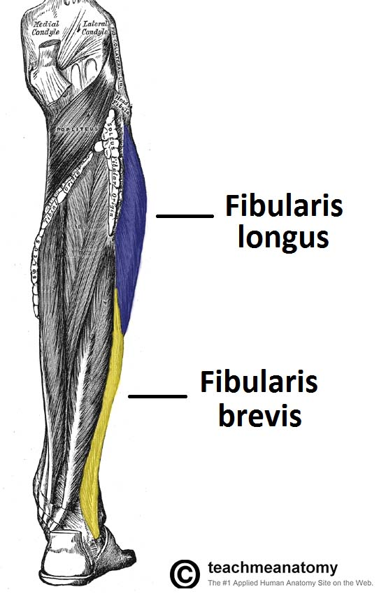Fig 1.0 - Muscles of the lateral leg; fibularis longus and brevis