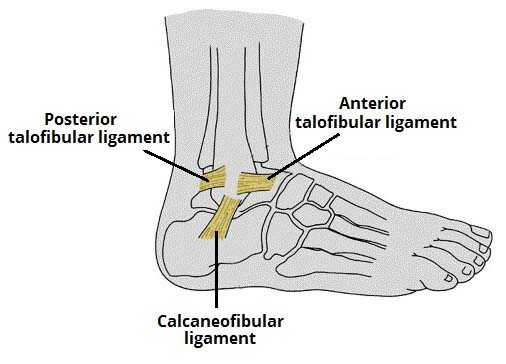 Fig 1.2 - Lateral ligament of the ankle joint.