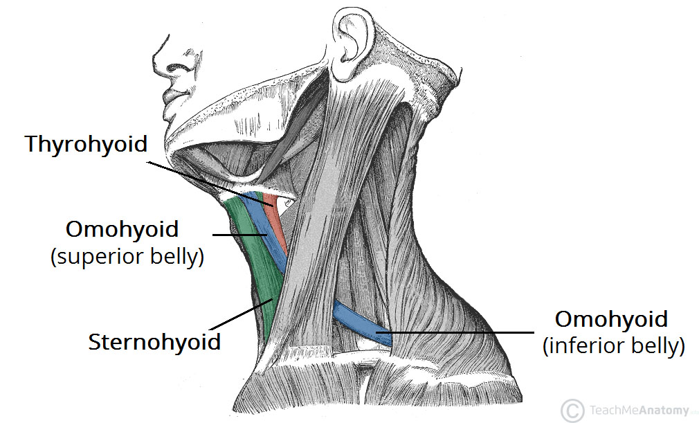 Fig 1.0 - Lateral view of the neck musculature. Note the two bellies of the omohyoid muscle.
