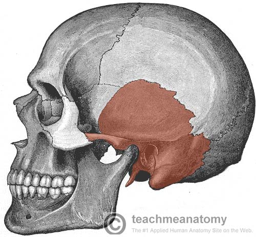 Fig 1 - Lateral view of the skull. The temporal bone has been highlighted.