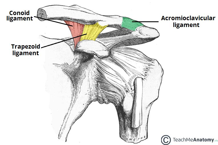 Fig 1.1 - The ligaments of the AC joint.