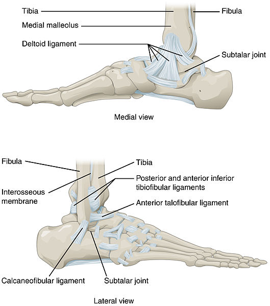 fig 4 – ligaments of the ankle joint