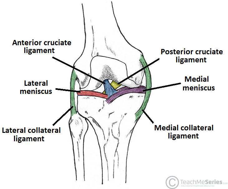 The Knee Joint Articulations Movements Injuries Teachmeanatomy
