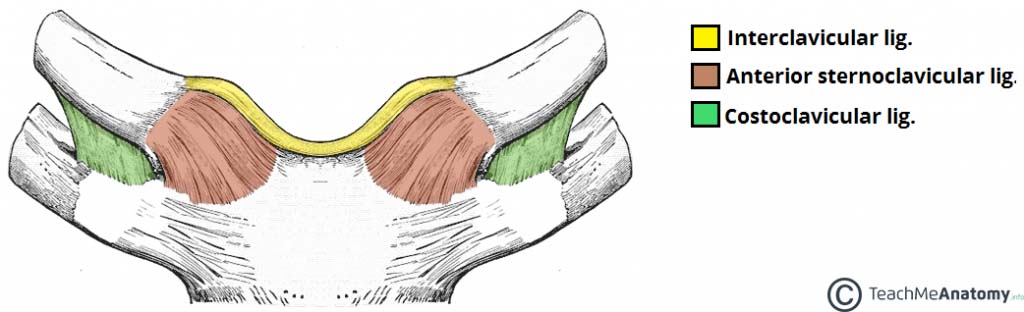 Fig 1.1 - The major ligaments of the sternoclavicular joint