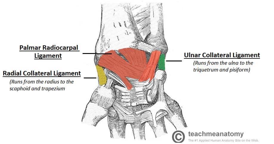 The Wrist Joint Teachmeanatomy