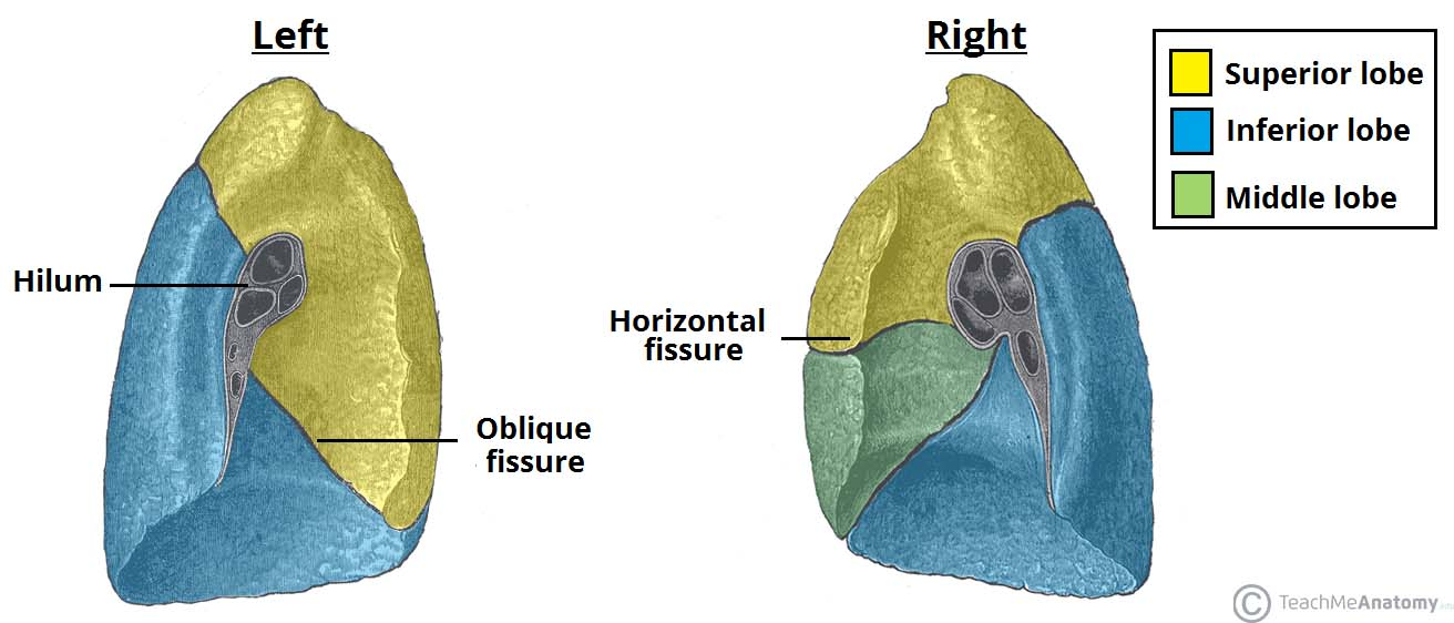 Fig 1.1 - The lobes and fissures of the lungs. The oblique fissures are similar in both lungs