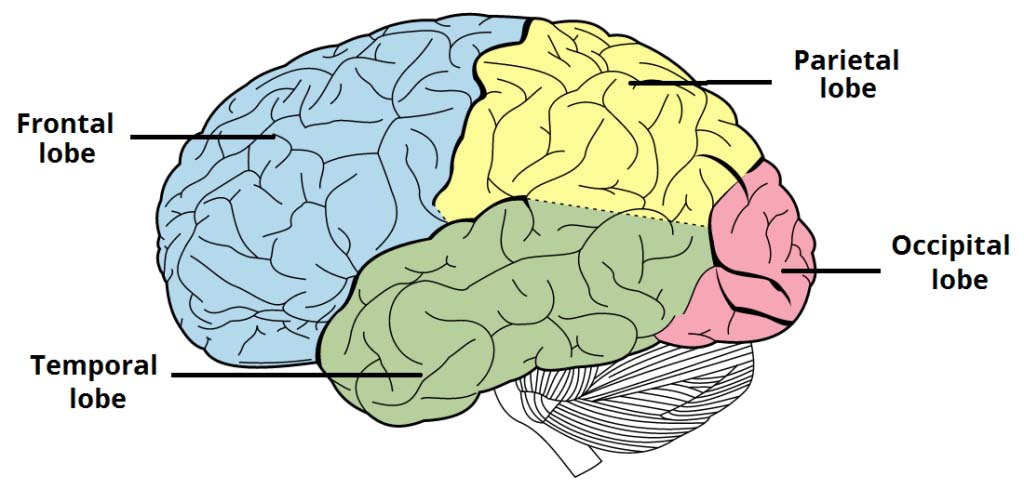 Fig 1.2 - The lobes of the cerebral cortex.
