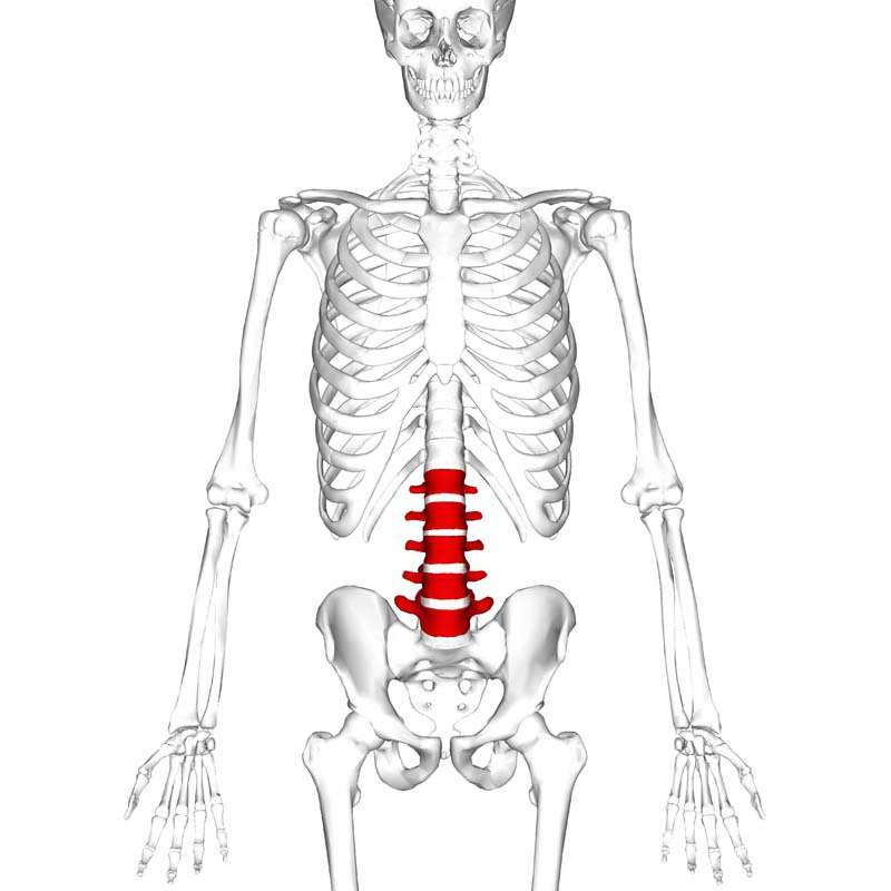 the lumbar spine - joints - ligaments - teachmeanatomy, Human Body