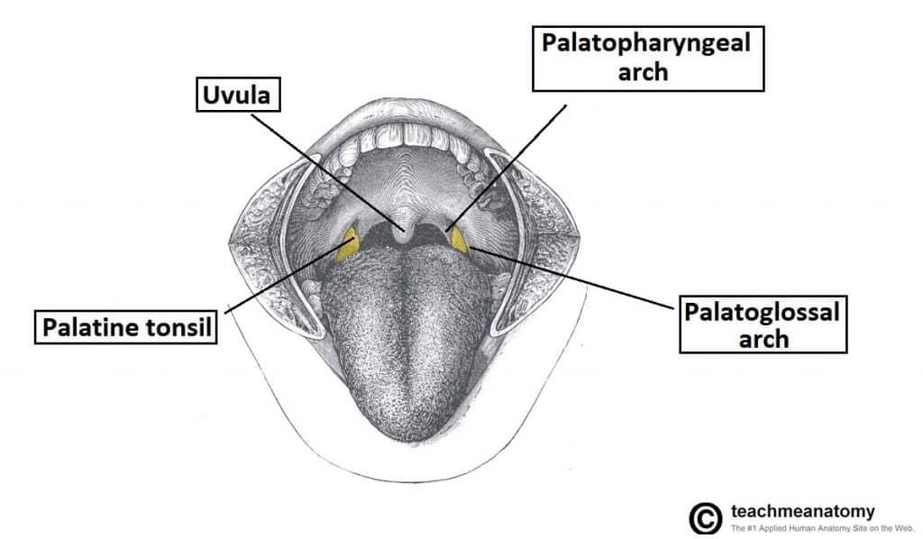 The Palate - Hard Palate - Soft Palate - Uvula - TeachMeAnatomy