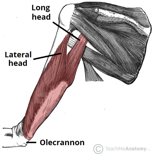 Fig 3 - The long and lateral heads of the triceps brachii.