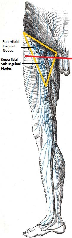 Fig 1 - The superficial and sub-inguinal lymph nodes.