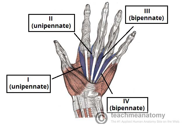 Fig 1.2 - The lumbricals of the hand. Note the differing unipennate and bipennate structure.