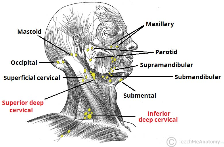 Fig 1 - The superficial and deep lymph nodes of the head and neck.