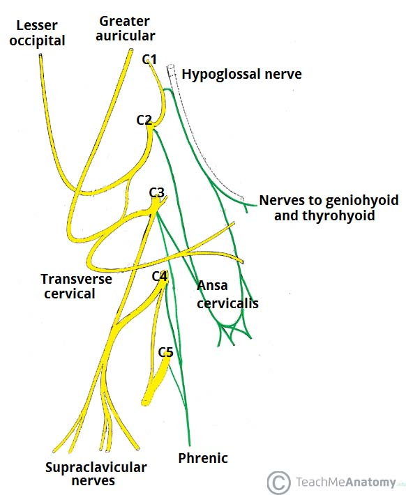 Fig 1.1 - The branches of the cervical plexus. The smaller branches have been removed for simplicity.