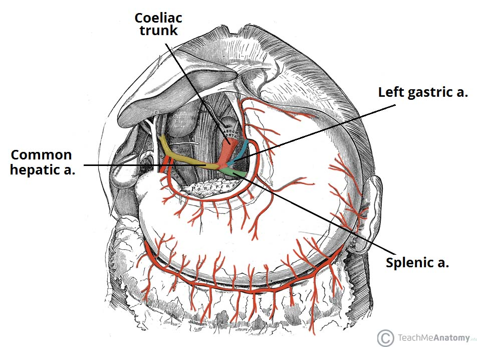 the coeliac trunk - branches - anastomoses - teachmeanatomy, Cephalic Vein