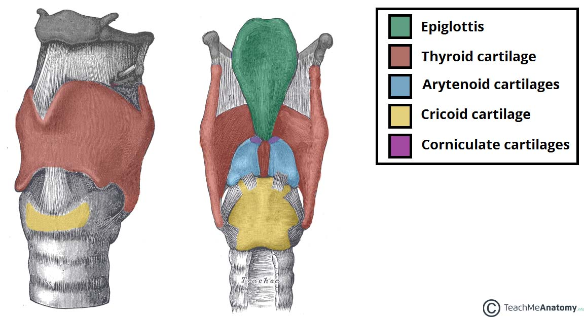 Laryngeal Cartilages Paired Unpaired Teachmeanatomy