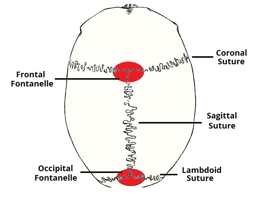 Fig 1.2 - The major fontanelles and sutures of the skull