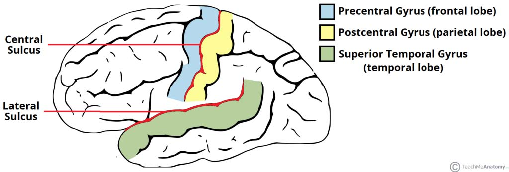 Fig 1.1 - The notable sulci and gyri of the cerebrum.
