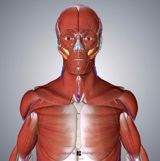 3D Human Body - TeachMeAnatomy