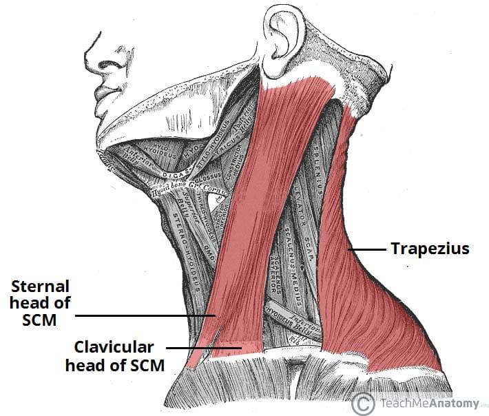 The Accessory Nerve (CN XI) - Course - Motor - TeachMeAnatomy