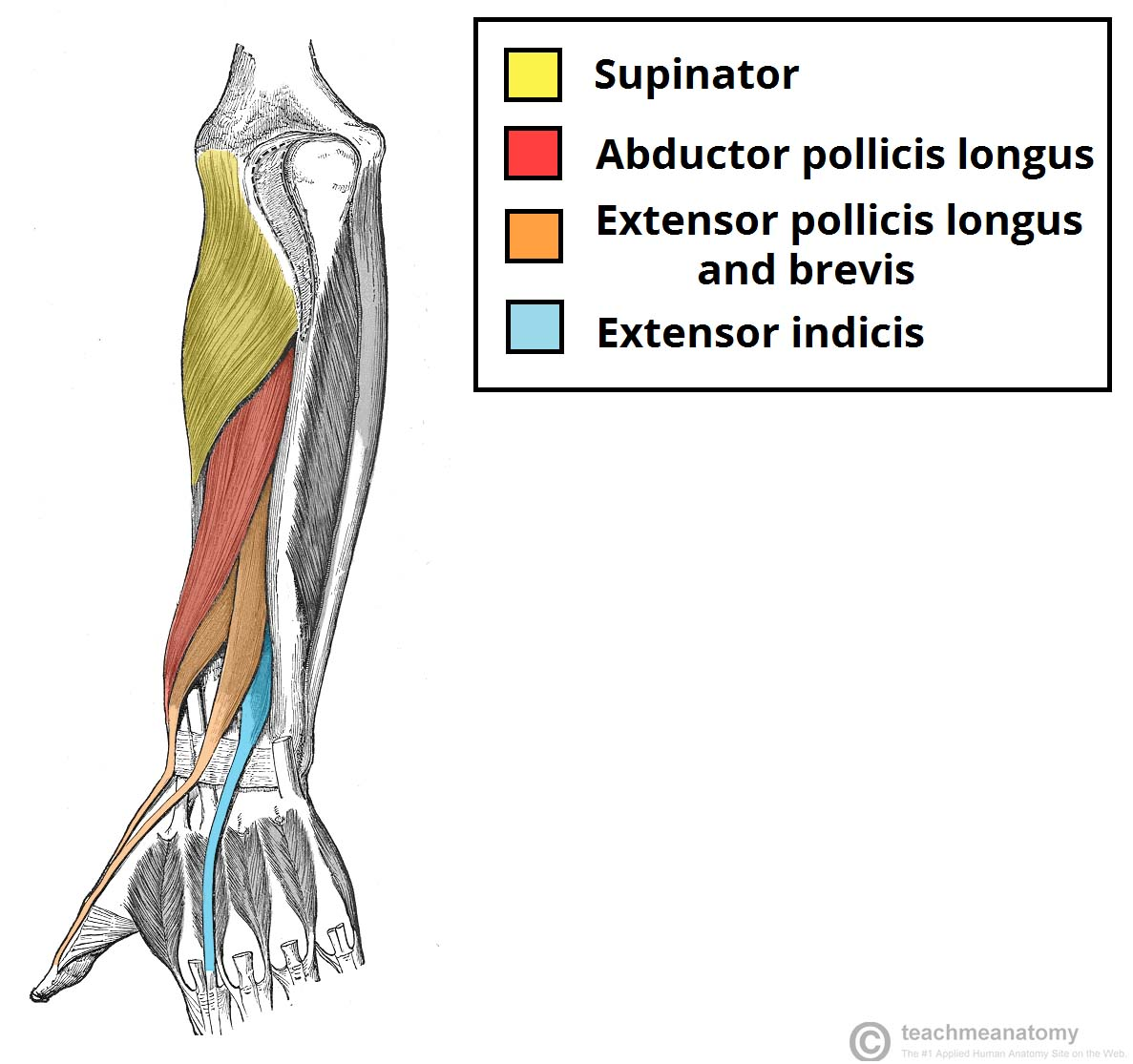 Fig 1.1 - Muscles in the deep layer of the posterior forearm.