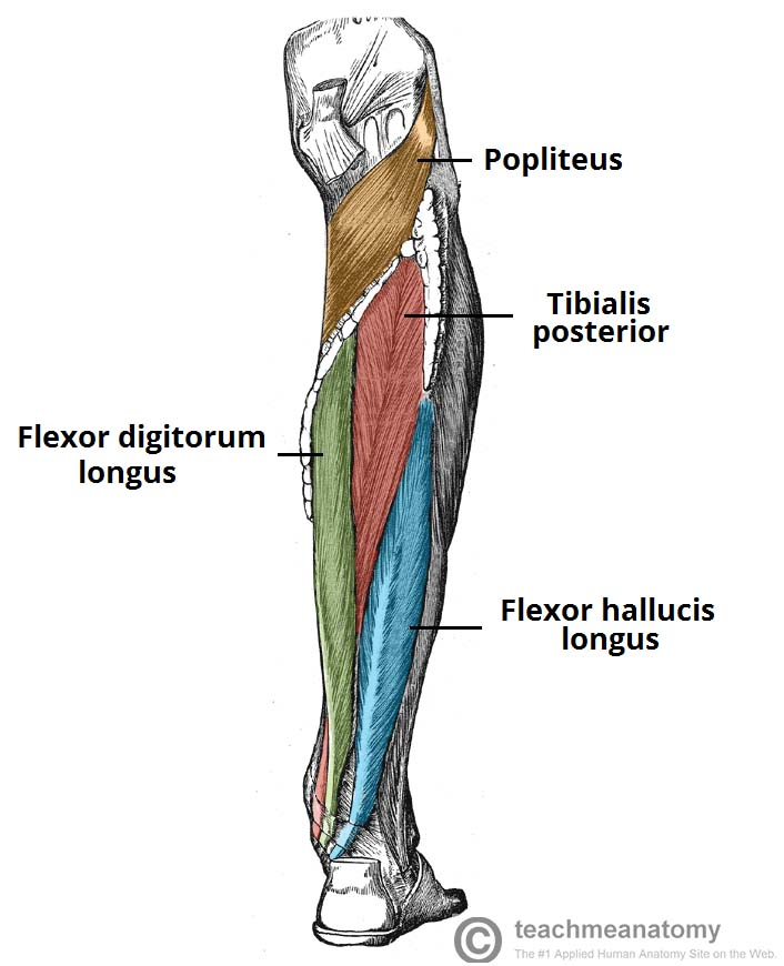 Fig 1.1 - Muscles in the deep layer of the posterior leg.
