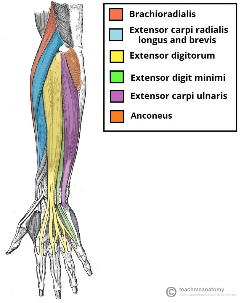 Fig 1.0 - The muscles in the superficial layer of the posterior forearm.