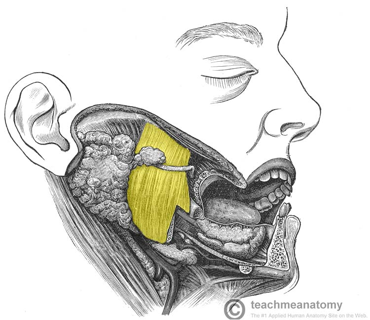 Fig 1.0 - The masseter muscle. Only the superficial head is visible