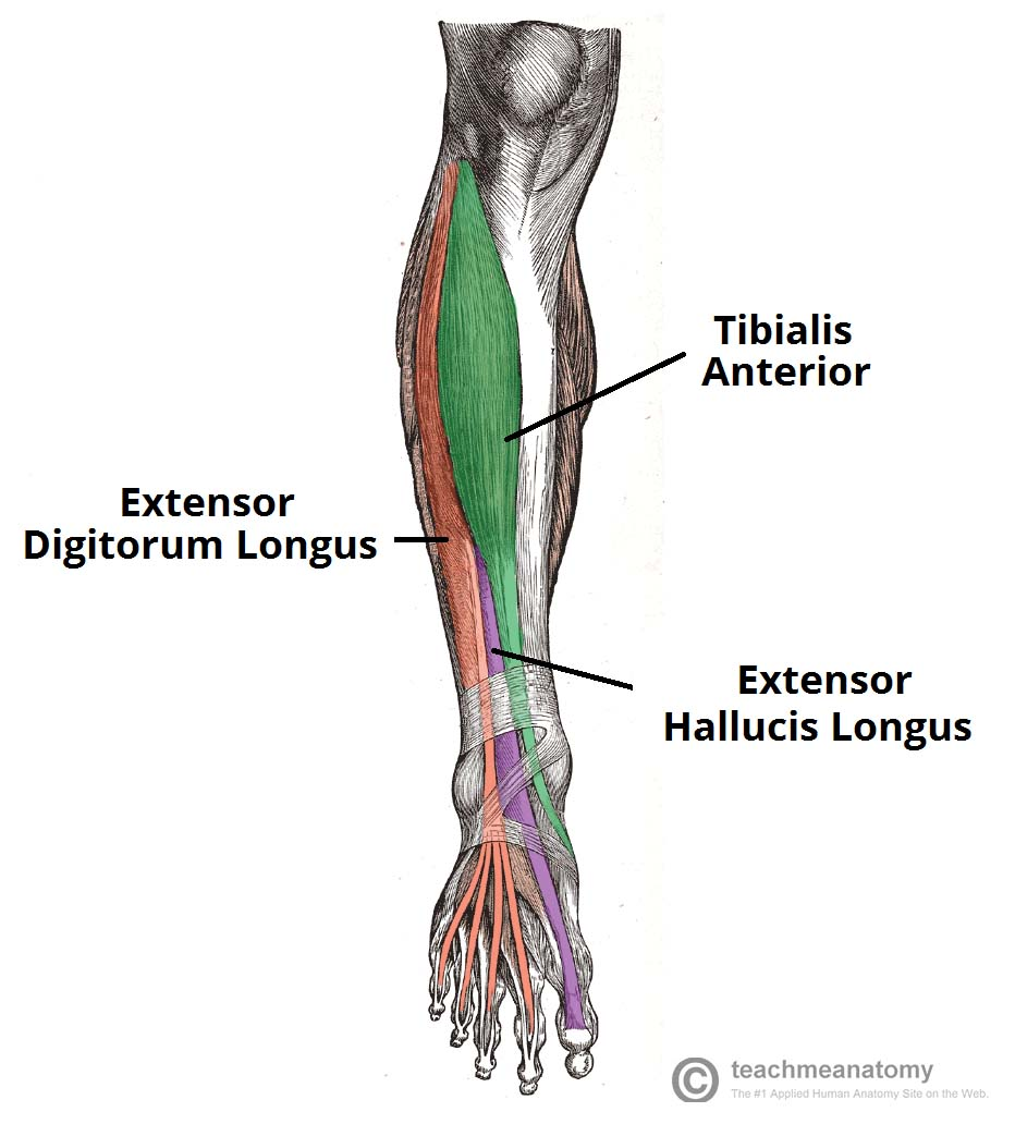 muscles of the anterior leg - attachments - actions - teachmeanatomy, Human body