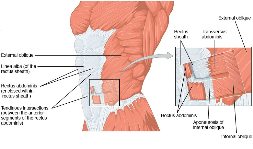 the anterolateral abdominal wall - muscles - teachmeanatomy, Muscles