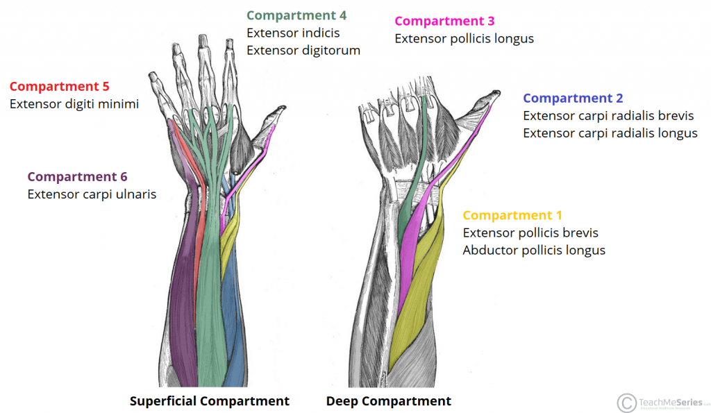 fig 2 – the posterior compartment of the forearm and