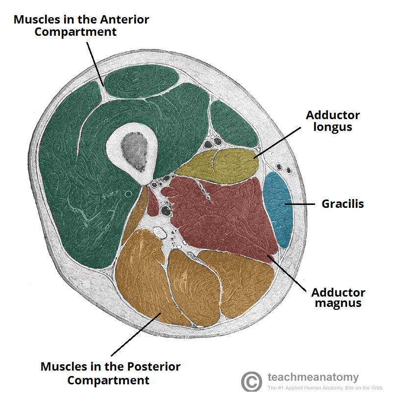 Fig 1.1 - Cross section of the inferior thigh, showing some of the medial thigh muscles. The adductor brevis and obturator externus attach superiorly in the thigh, and so are not visible in this cross-section.