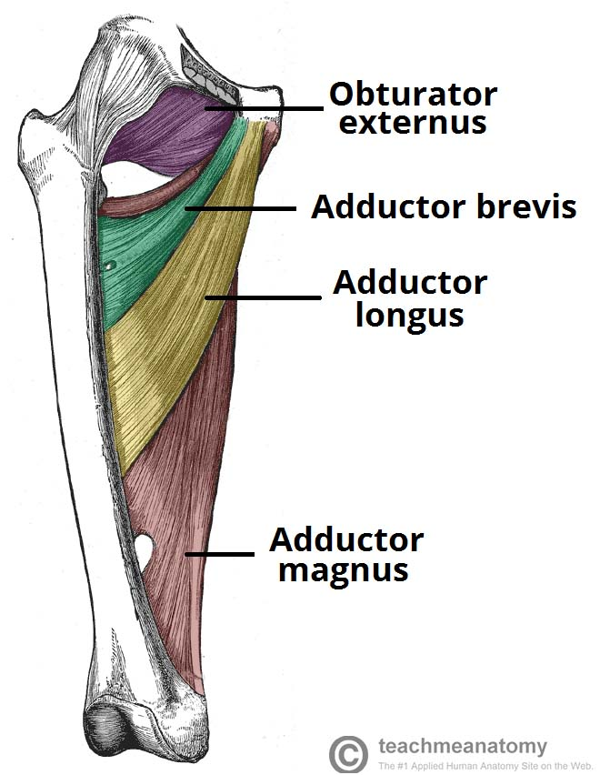 Fig 1.0 - Muscles of the medial thigh. The overlying muscles in the anterior compartment have been removed.